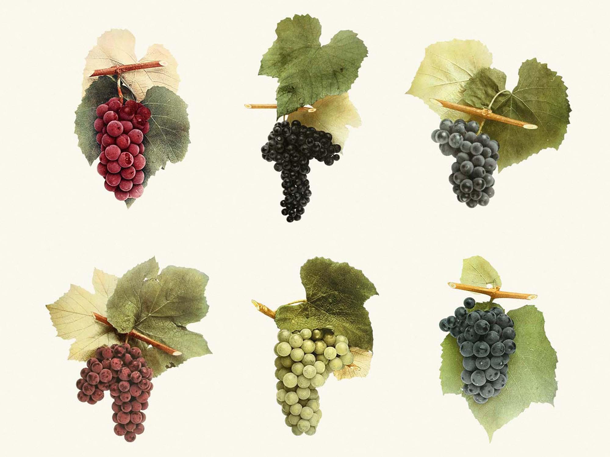 Sunny Grape Vintage Clipart 3