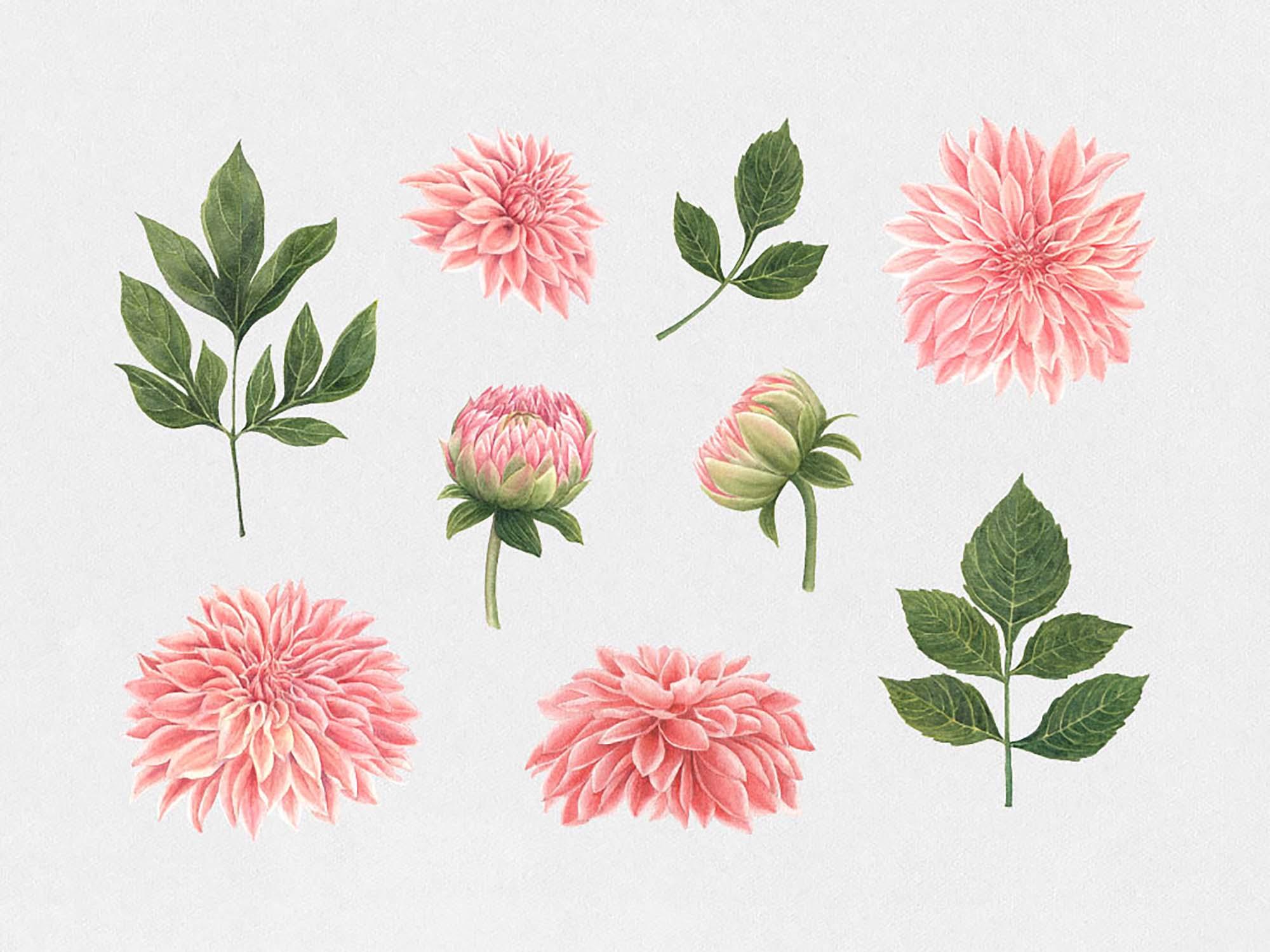 Anemone & Dahlia Flowers Clipart 2